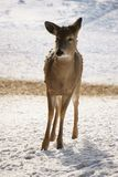 Whitetail Deer Standing in the Snow royalty free stock photo