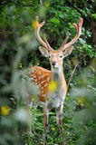 Whitetail Deer Royalty Free Stock Photography