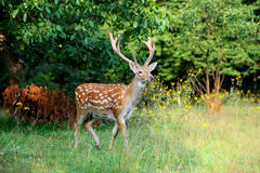 Whitetail Deer standing in summer wood Stock Photo
