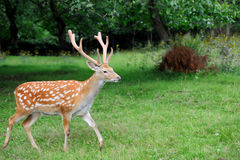 Whitetail Deer standing in summer wood Stock Photography
