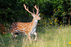 Whitetail Deer standing in summer wood Royalty Free Stock Photos