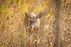 Whitetail deer in grass. A whitetail deer standing in tall dry grass stock photo