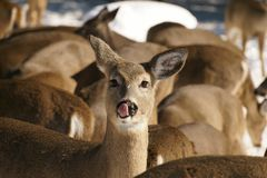 Whitetail Deer Sticking Its Tongue Out stock images