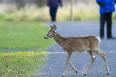 Whitetail deer and tourists Stock Photography