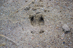 Whitetail Deer Track Royalty Free Stock Photo