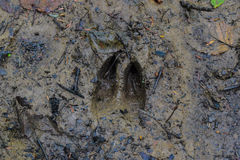 Whitetail Deer Track Stock Photo