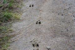 Whitetail Deer Tracks Stock Images