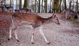Whitetail deer walking across the road Royalty Free Stock Photo