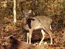 Whitetail Deer in Washington DC stock photo