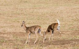 Whitetail deer. Odocoilus virginianus on formland in Washington stock images