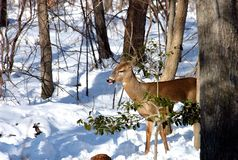 Whitetail Deer In Winter. A Whitetail Deer having a snack in the middle of winter Royalty Free Stock Photography