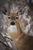 Whitetail Deer in Winter. A detailed close up a Whitetail Deer during winter Royalty Free Stock Images