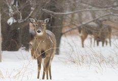 Whitetail deer in winter Royalty Free Stock Photos