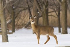 Whitetail deer in winter Royalty Free Stock Photo