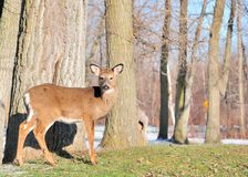 Whitetail Deer Yearling Royalty Free Stock Images
