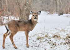Whitetail Deer Yearling Stock Image