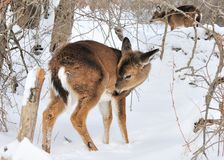 Whitetail Deer Yearling Stock Photo