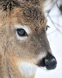 Whitetail Deer Yearling Royalty Free Stock Photo