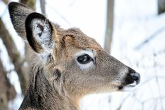 Whitetail Deer Yearling Stock Photography