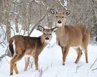Whitetail Deer Yearling And Doe Royalty Free Stock Image
