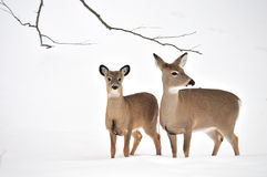 Whitetail Deer Yearling And Doe Royalty Free Stock Photos