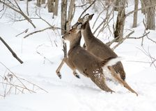 Whitetail Deer Yearling And Doe Stock Photos