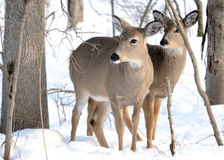 Whitetail Deer Yearling And Doe Royalty Free Stock Photo
