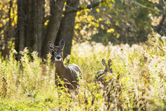 Whitetail deers Royalty Free Stock Images