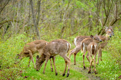 Whitetail deers Royalty Free Stock Photo