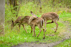 Whitetail deers Stock Image