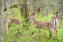 Whitetail deers Stock Photography