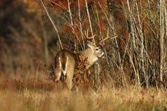 Whitetail del otoño Fotografía de archivo libre de regalías