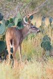 Whitetail del sud del Texas Fotografie Stock