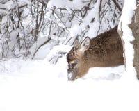 Whitetail di inverno Fotografie Stock Libere da Diritti