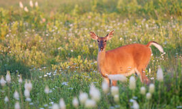 Whitetail doe Stock Photos