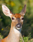 Whitetail doe Royalty Free Stock Photos