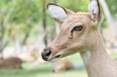 Whitetail doe. Royalty Free Stock Photography