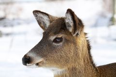 Whitetail doe Stock Images