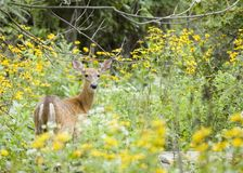 Whitetail Doe Royalty Free Stock Images