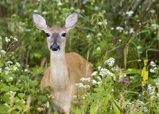 Whitetail Doe Royalty Free Stock Image
