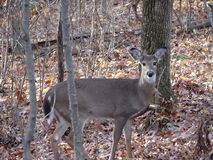 Whitetail Doe. This is a whitetail doe in the fall woods Stock Image