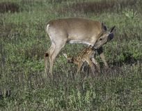 Whitetail doe checking her fawn share love. Whitetail fawn checking her fawn in the early morning in the meadow. Tender moment between mother and baby Royalty Free Stock Images