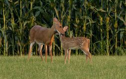 Whitetail Doe Cleaning Her Fawn Royalty Free Stock Images