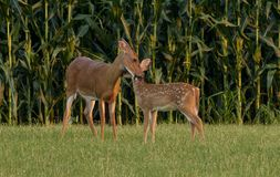 Whitetail Doe cleaning her fawn royalty free stock image