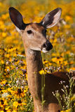 Whitetail Doe Deer. In A Field Of Wildflowers stock image