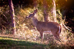 Whitetail doe deer early morning with heavy forest. Whitetail deer stands in early morning sunlight with thick forest behind her Royalty Free Stock Photos
