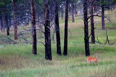 Whitetail deer in the woods. Whitetail doe deer in the forest royalty free stock images