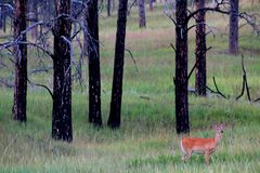 Whitetail deer in the woods. Whitetail doe deer in the forest stock images