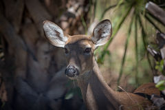 Whitetail doe deer portrait. Face of a whitetail doe deer looking just past camera Royalty Free Stock Photography