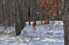 Whitetail Doe Deer Standing in the Snowy Woods as a Hawk Flies Overhead stock images